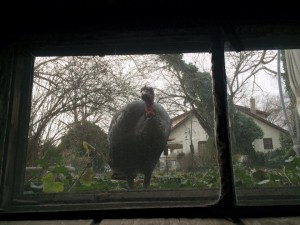 Male turkey looking in window